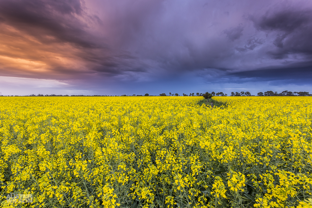 Little River Canola
