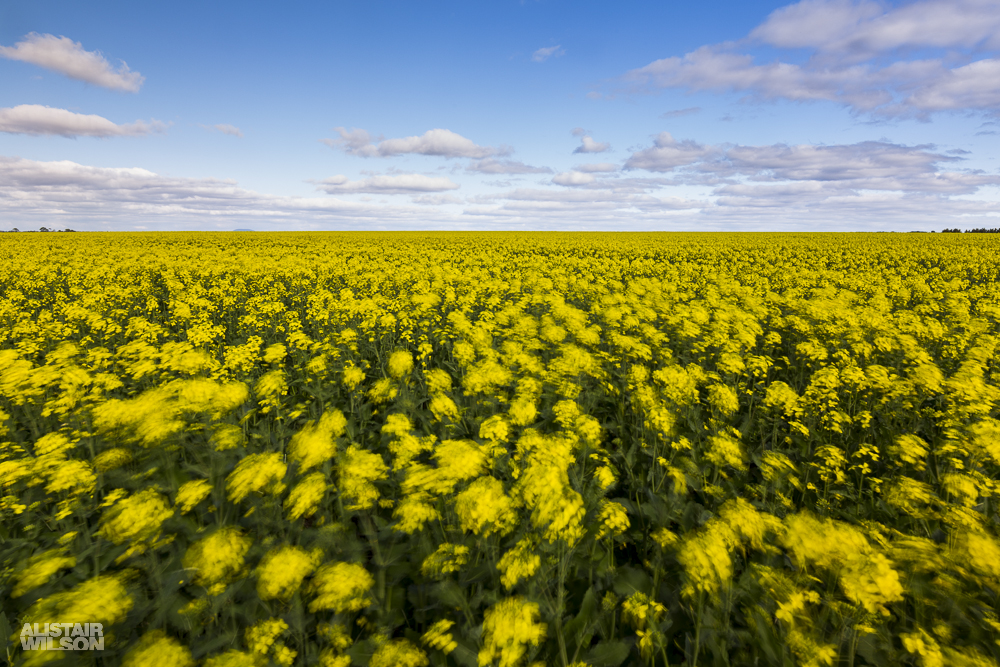 Canola in the wind